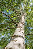 Birch tree. A birch tree upper view Stock Images