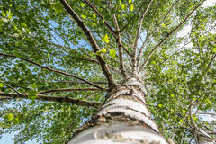 Birch tree. A birch tree upper view Royalty Free Stock Images