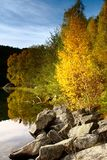 Birch Tree on The Water in autumn, Norway Stock Photos