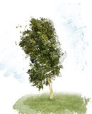 Birch Tree Watercolor Royalty Free Stock Photo