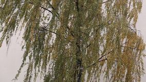 Birch tree in the wind.  stock footage