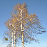 Birch Tree in the Wind Royalty Free Stock Images