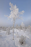 Birch-tree in winter Stock Photo