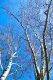 Birch tree in winter Royalty Free Stock Images