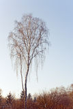 Birch tree in winter evening Royalty Free Stock Photo