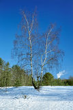 Birch tree in the winter forest Royalty Free Stock Images
