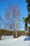Birch tree in the winter forest Royalty Free Stock Image