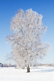 Birch tree in winter. Royalty Free Stock Images