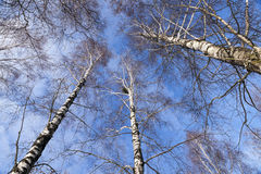 Birch tree in winter Stock Images