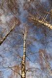 Birch tree in winter Royalty Free Stock Photo