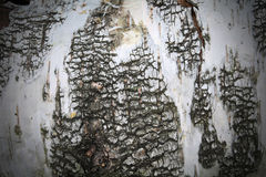 Birch tree wood texture Stock Photo