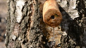 Birch tree with wooden spigot and sap drops. Birch tree trunk  with wooden spigot and sap drops stock footage
