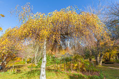 Birch tree with yellow leaves in a garden Stock Image