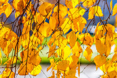 Birch tree yellow leaves Royalty Free Stock Image
