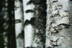 Birch trees. From finland, Europe Royalty Free Stock Photo