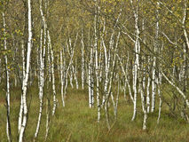 Birch trees. Graphical background built by birch trees in autumn Stock Images