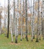 Birch trees. In autumn, panorama Stock Photos
