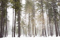 Birch trees. Wood during winter storm stock photo