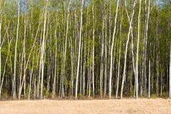 Birch trees Royalty Free Stock Photo