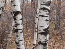 Birch Trees Stock Image