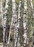 Birch trees. A web of birch trees Royalty Free Stock Image
