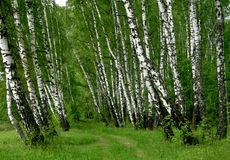 Birch trees. In a summer forest Royalty Free Stock Photos