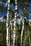 Birch trees. A group of birch trees in the forest in autumn stock photo