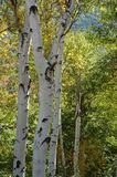 Birch trees. In new england Stock Images