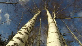 Birch trees against cloudy sky, time lapse 4K. Birch trees against cloudy sky in the forest on spring sunny windy day, time lapse 4K stock footage