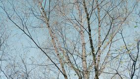 Birch trees against the sky. 4K RAW Blackmagic Production Camera stock footage