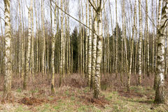 Birch trees. Royalty Free Stock Photo