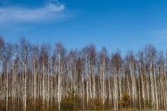 Birch trees arrangement Stock Images
