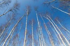 Birch trees arrangement Royalty Free Stock Photography