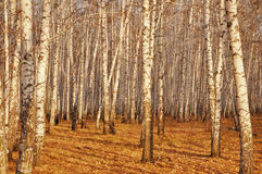 Birch trees in the autumn Royalty Free Stock Photography