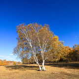 Birch trees in autumn Stock Images