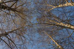 Birch tree in autumn with blue sky stock photo