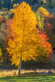 Birch trees in autumn color Stock Photo