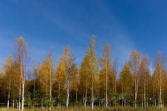 Birch trees in autumn colors Stock Photos