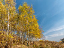 Birch trees in autumn colors Royalty Free Stock Photo