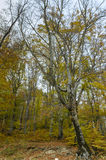 Birch trees in autumn. Birch trees with fallen leaves during the autumn season Royalty Free Stock Photos
