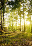 Birch trees in a autumn forest. Birch trees in forest  Sunlight is fallen from the sky on a beautiful autumn day Stock Photography