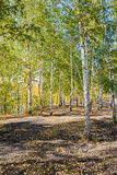 Birch trees in autumn forest Stock Photo