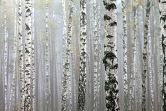 Birch trees in autumn forest in cloudy weather Stock Photography
