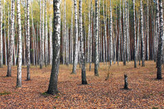 Birch trees in autumn forest in cloudy weather Royalty Free Stock Photography