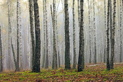 Birch trees in autumn forest in cloudy weather Royalty Free Stock Photo