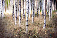 Birch trees in autumn. Grove of  birch trees and dry grass in early autumen Royalty Free Stock Image