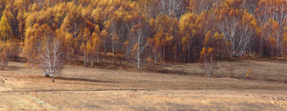 The birch trees Royalty Free Stock Photos