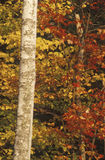 Birch Trees in Autumn, Maine Stock Image