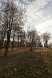 Birch trees in autumn Royalty Free Stock Image