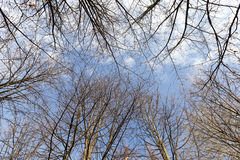 Birch trees in autumn Stock Photography